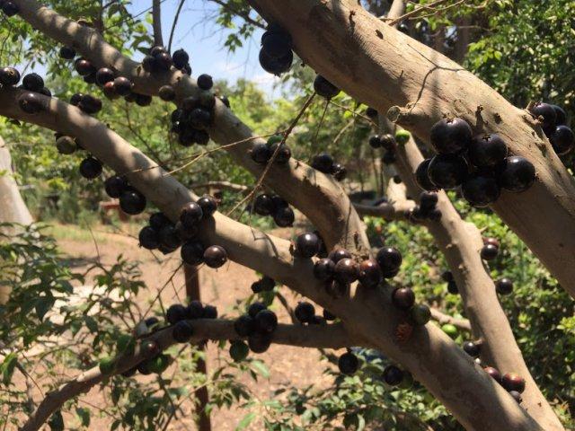 עץ ג'בוטיקבה – בואו להכיר